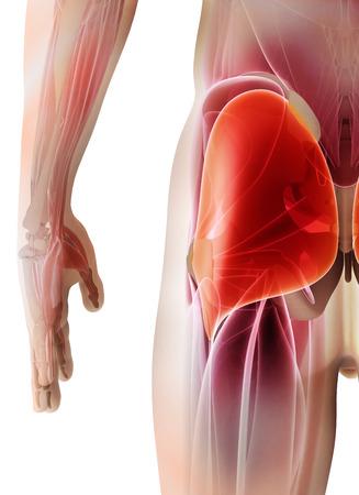 3D illustration of Gluteus Maximus, Part of Muscle Anatomy.