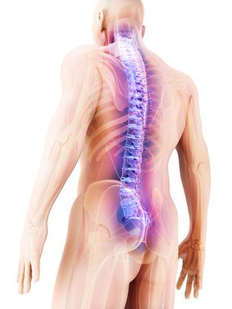 3D ilustrace páteře - část lidské kostry.