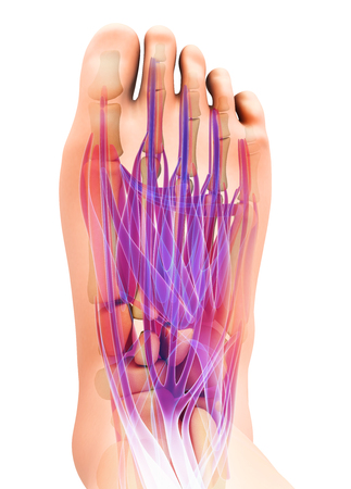 3d illustration of Medical and Scientific concept, Foot muscle - human muscular system. Stock Illustration - 84879005