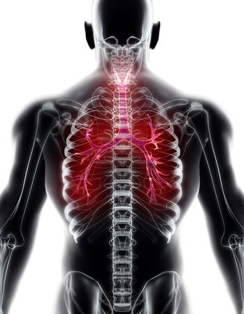 3D illustration of Larynx Trachea Bronchi Part of Respiratory System. Reklamní fotografie
