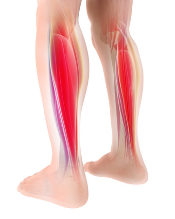3D illustration of gastrocnemius, Part of Legs Muscle Anatomy - Medical concept.