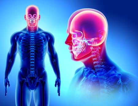 Ilustración 3D de la anatomía del cráneo - parte del esqueleto humano, concepto médico. Foto de archivo - 87170574