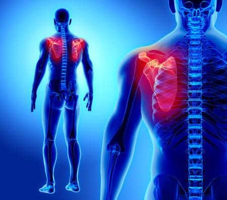 man back pain: 3D illustration of Scapula - Part of Human Skeleton.