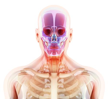 3D illustration of skull anatomy - part of human skeleton, medical concept.