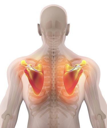 3D illustration of Scapula - Part of Human Skeleton.