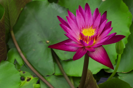 misconception: A common misconception is referring to the lotus Nelumbonaceae family as a waterlily family Nymphaeaceae. Stock Photo
