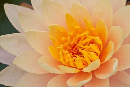 Close up of yellow cream lotus image photo