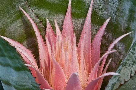 aechmea: Aechmea on leaf background image