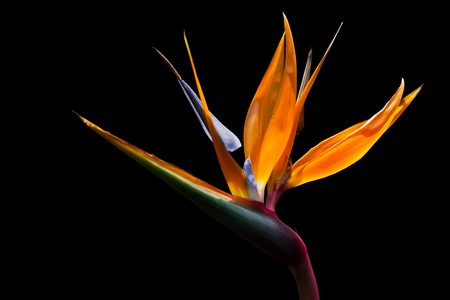 Bird of paradise on dark background image photo