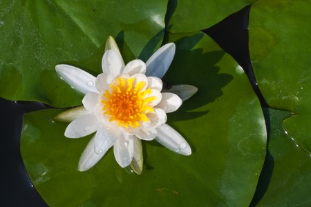 Close up of  white color lotus image photo