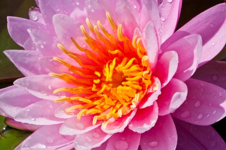 Close up of purple color lotus image Stock Photo - 7074194