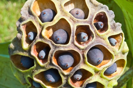 Close up of black lotus seed image Stock Photo - 7074201