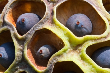 Close up of black lotus seed image Stock Photo - 7093957