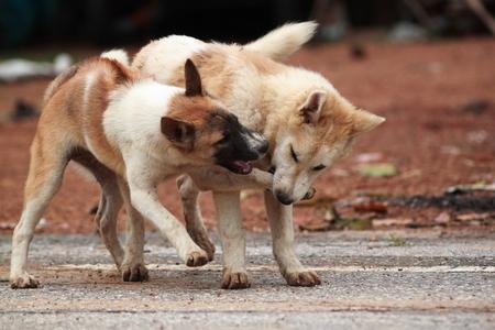 kampfhund: Hunde spielen