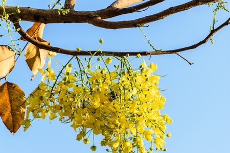 fistula: golden shower in blooming in the morning, yellow flower in thailand, beautiful flower in Songkran Festival Thailand, blue sky background