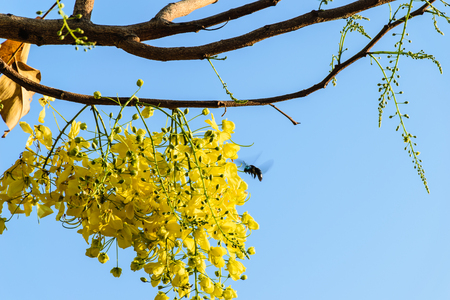 sear: golden shower in blooming in the morning, yellow flower in thailand, beautiful flower in Songkran Festival Thailand, blue sky background
