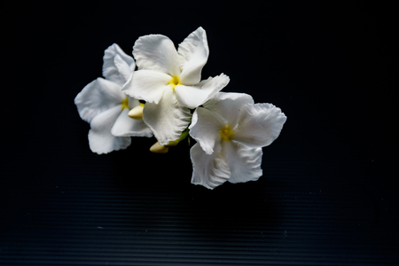 Gardenia flower is blooming with is isolated image, black background