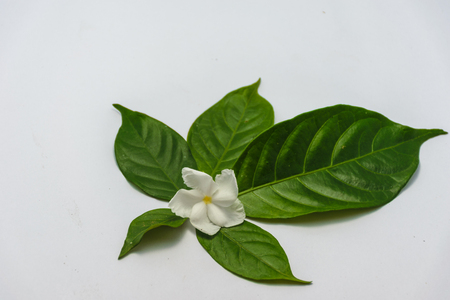 Gardenia leaf stand in a line is square , is isolated image, white background and show gardenia flower put on center of leaf Stock Photo