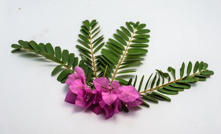 sesbania grandiflora leaf is isolated with white background, and pink flower put on center of image
