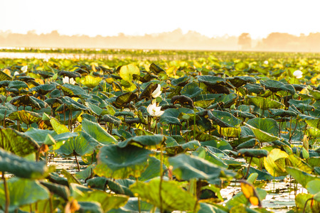 provinces: lotus flower and lotus leaf in the river in the evening Stock Photo