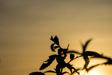 cultivate: plant leaf in the evening, sunset background, concept shadows image