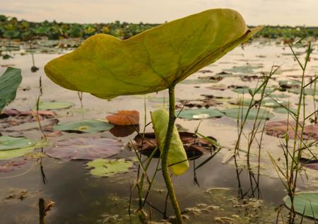 Close up to Leaf ot lotus in the river,showing under leaf Stok Fotoğraf