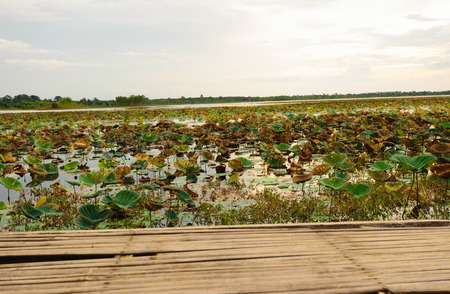 Close up old wooden and lotus leafs in the river , landscape view , sunset and clouds background Stok Fotoğraf