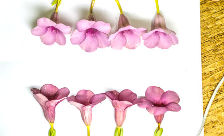 Allamanda Cathartica is isolated with white background, purple color of flower and blooming flower,Thailand Imagens