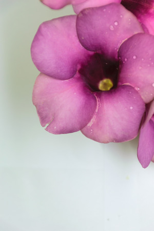 Purple Bignonia isolated with white background,flower in Thailand