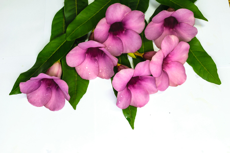 Purple Bignonia isolated with white background,flower in Thailand,others name of flower is Saritaea magnifica Duyand