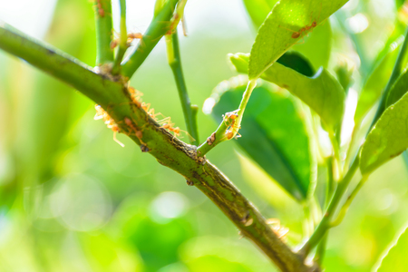 red ant walking on lemon tree in garden,Nature background concept