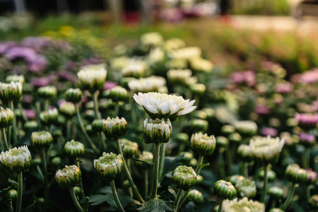 white chrysanthemum flower, beautiful garden texture background, flora plant is blooming in autumn season and spring scene, nature concept. Stock Photo