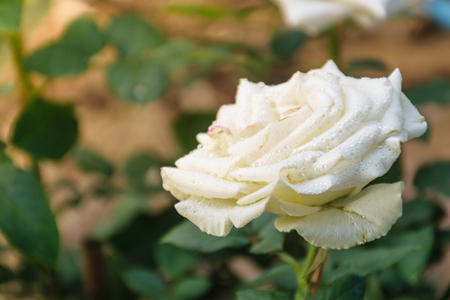white rose perfume, close up petal rose with spray of water to be fresh lovely, and pink color into center of flower.