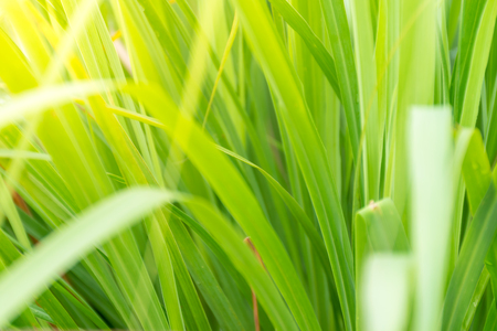 leaves of Cymbopogon citratus (DC.) Stapf ,green color, field of Lemongrass, vegetable concept. healthy menu clean.