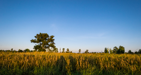 Rice field sunset background, green  rice and blue sky background, nature wallpaper concept.