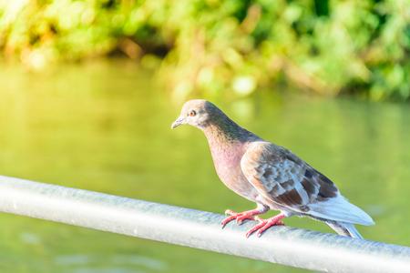 Dove wildlife, Bird animal concept, close up.