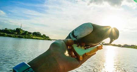 Dove wildlife, Bird animal concept, close up. bird on hand with sunset and blue sky background. Zdjęcie Seryjne
