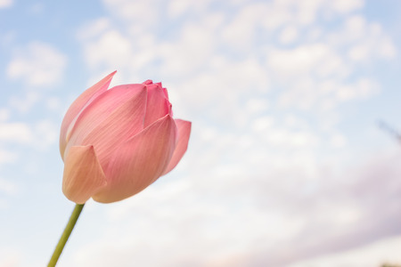 Pink lotus flower is blooming in the river with green leaf,blue sky and clouds background,nature backdrop wallpaper concept.