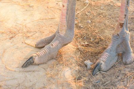 Gros plan Pied d'autruche, jambes fortes d'autruche Peut courir vite, se concentrer sur l'orteil et les jambes de l'oiseau, concept de faune animale.