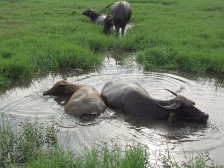 buffalo in swamp