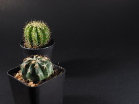cactus in pots Stock Photo