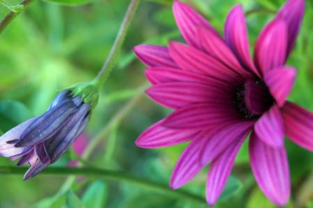 Flowering pink daisy, purple marguerite bud still not blooming, green background defocused