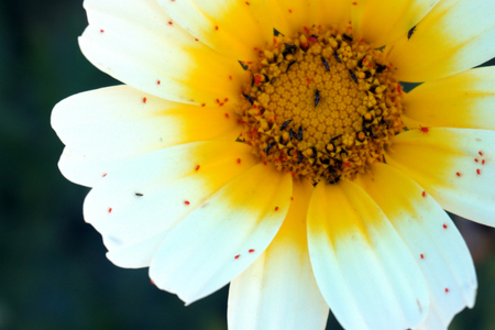 Close-up, macro, white and yellow daisy, petals with red spider and black bugs, defocused green background Stok Fotoğraf