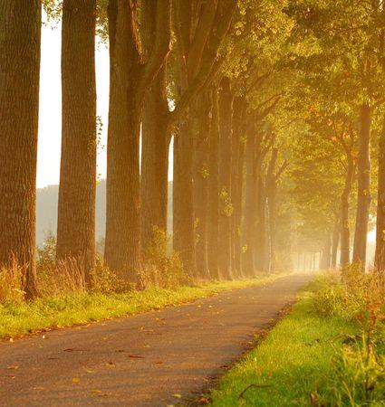 poplars: Autumnal sun shines through poplar trees
