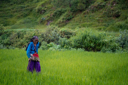 an indian old aged woman walking in the fields wearing a saree with a stick for support Stock Photo