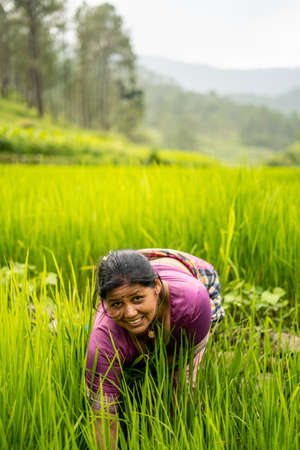 Indian woman working in the irrigated green fields.