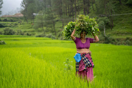 Indian woman carrying grass loads in the irrigated green fields. Stock Photo