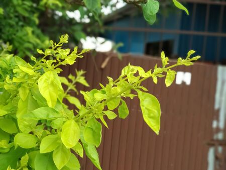 A picture of Indian green leaf with beautiful background.closeup view of green leaves.