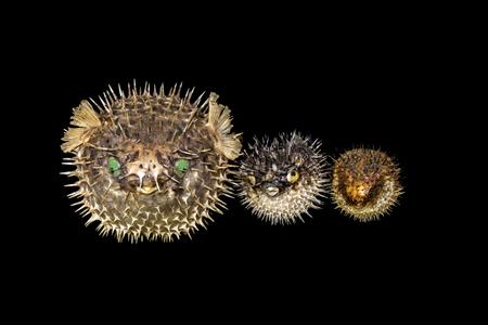 barbs: porcupinefish Stock Photo