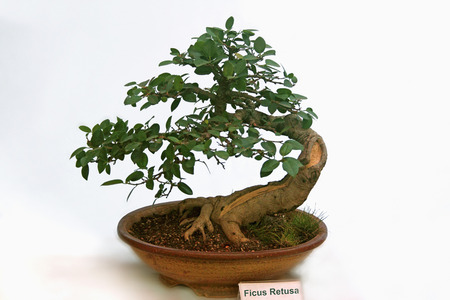 Bonsai Tree Of Ficus Retusa tree, India photo